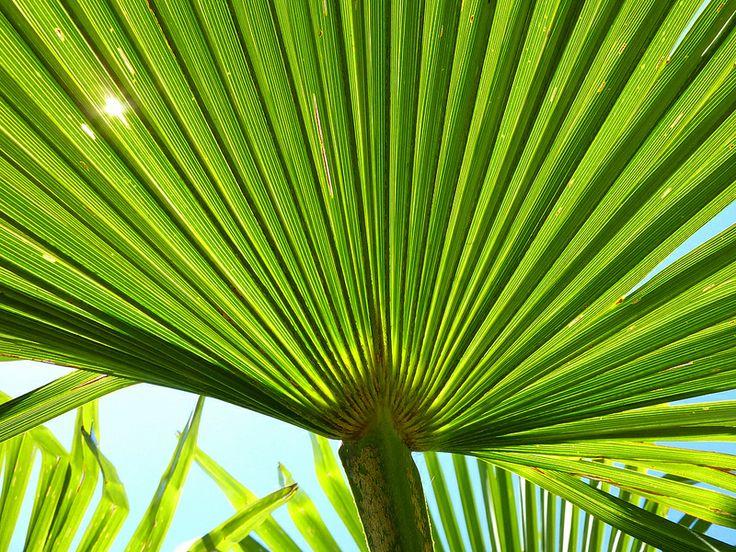 Palm leaf (Trachycarpus fortunei)