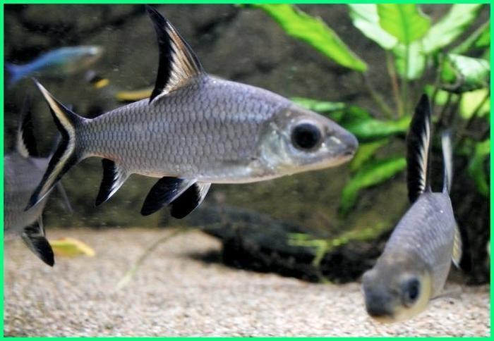Panduan Lengkap Cara Merawat Ikan Hias Balashark Dunia Fauna Hewan Binatang Tumbuhan Ikan Binatang Hewan