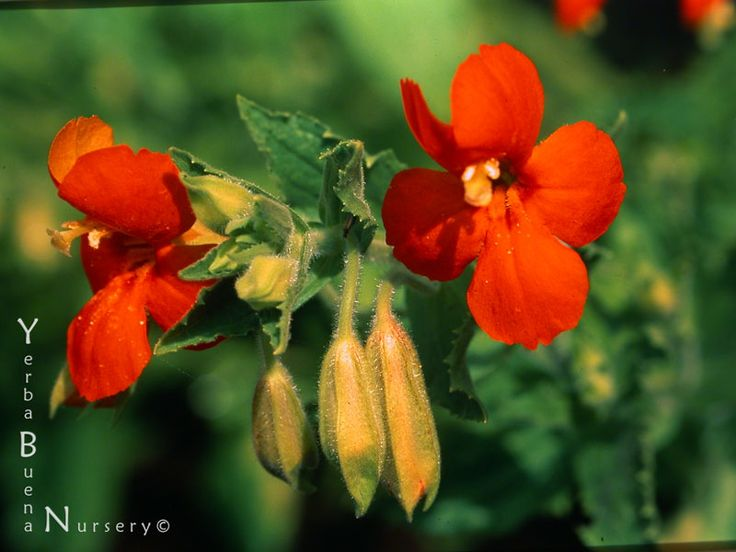 Scarlet monkey flower essence