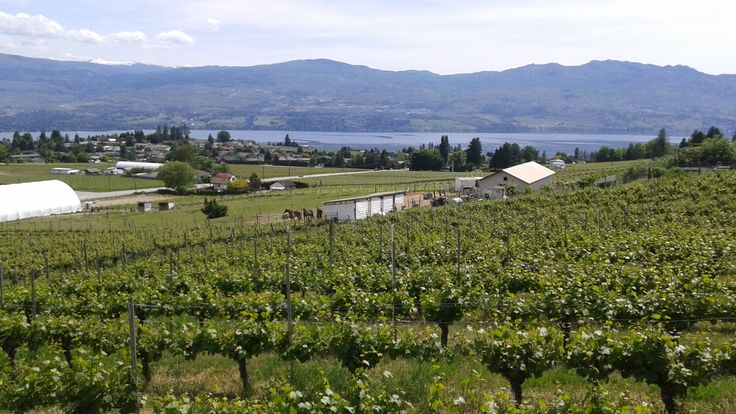 View overlooking the Westside Wine Trail from Little Straw Vineyards in West Kelowna. #vineyard #bc