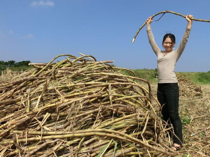 Yuki and a big pile of sugarcane