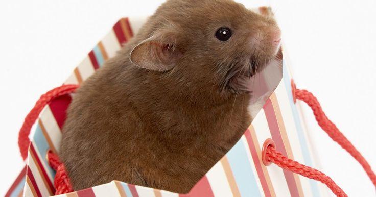 ¿Qué clase de madera es segura para que roan los hamsters?. A los hamsters les crecen los dientes durante toda su vida. Si no se les dan objetos duros para morder, sus dientes crecerán de más y comer les será imposible. Los hamsters roen de manera instintiva en cualquier superficie dura para mantener sus dientes en un largo correcto. Muchas varas para masticar comerciales para roedores mascotas están ...