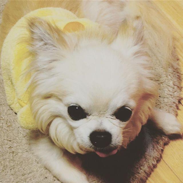 愛犬むぅちゃん💕 なに❓また撮ってんの〜んって感じの顔😅可愛いから撮るの😍親バカ🤣 #チワワ #ロングコートチワワ #ロングコート #クリーム #クリームチワワ #愛犬 #犬 #イヌ #わんこ #なに #またぁ #かわいい #親バカ #ひよこ #ヒヨコ服