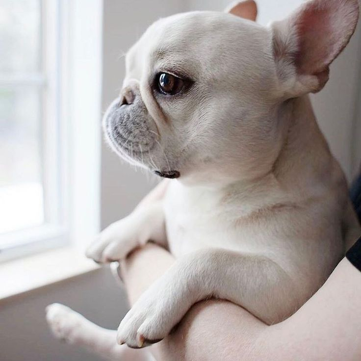 Everybody's lookin' forward to the weekend, French Bulldog