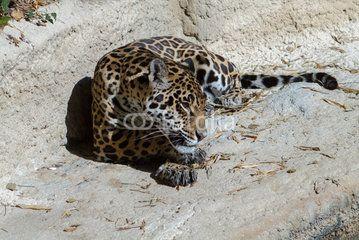 Jaguar - Zoo de la Palmyre (Img.9484)