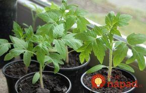 Vysadili ste už sadenice paradajok do exteriéru, alebo sa na tento krok chystáte práve v týchto dňoch? Poradíme vám jednoduchý tip, ktorý zabezpečí, že sadenice rýchle naberú silu, odolajú aj vrtochom počasia a vy budete záplavu veľkých a chutných plodov.
