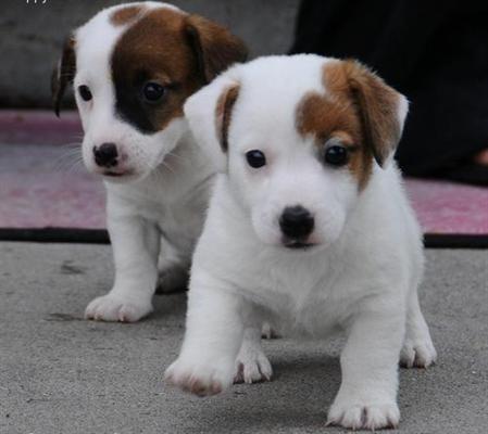 Adorables Jack Russell bebés.