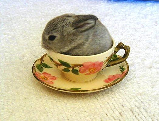 Adorable!  I want one!Rabbit, Teas Time, Funny Pics, Teas Cups, Deserts Rose, Baby Bunnies, Teacups Bunnies, Tea Cups, Animal