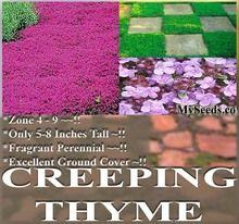 CREEPING THYME Herb Seeds - Thymus Serpyllum ~ Butterflies love it so will U - ZONES 4 - 9