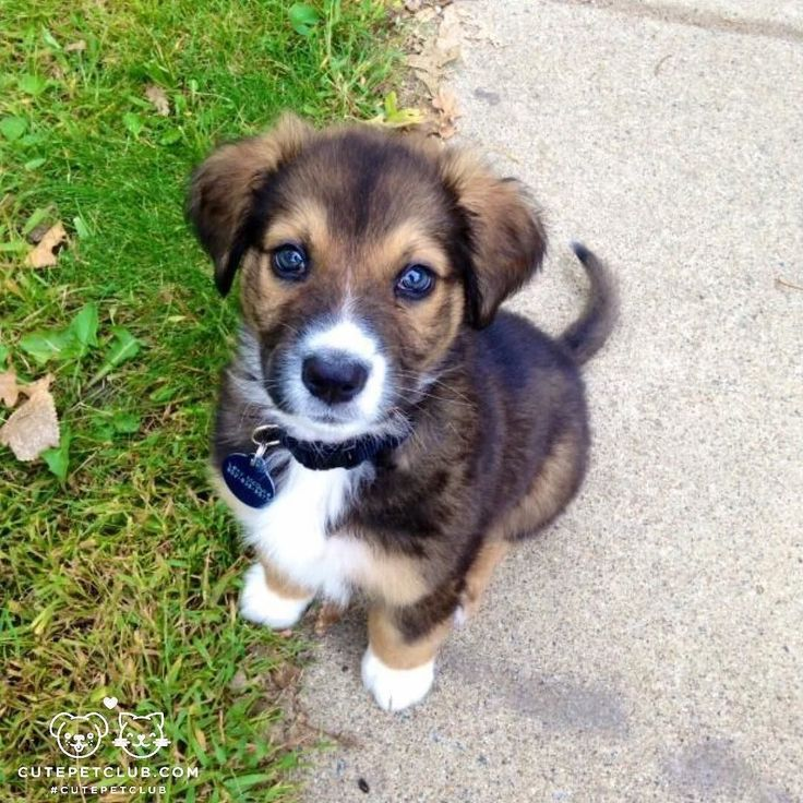 From @kaiser_the_monster: Kaiser is a rescue puppy from Minnesota. Hes half German shepherd half Bernese mountain dog and 100% adorable. #cutepetclub [source: http://ift.tt/1Ugror2 ]