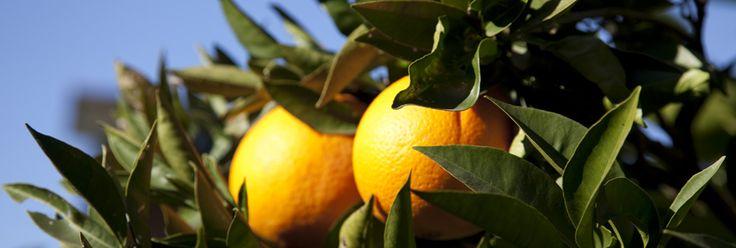 Naranjas directas del campo a la mesa, sin tratamientos químicos, un producto 100% natural