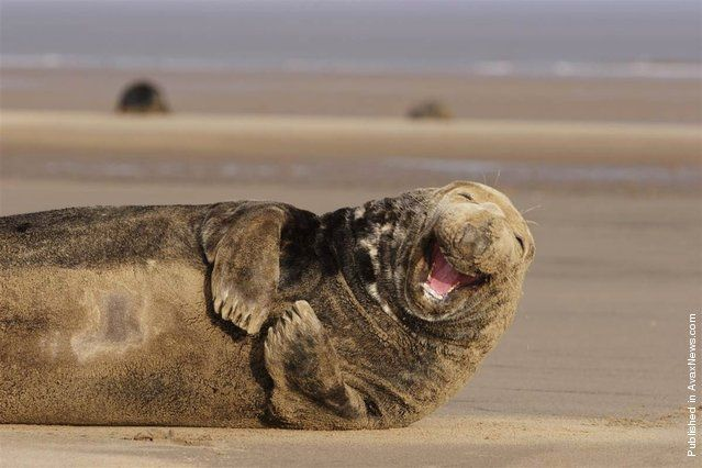 This grey adult male seal enjoys a good grin while lying on the beach
