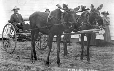 This moose team belonged to W.R. (Billy/Buffalo Bill) Day. They were found by a Metis near Baptiste Lake in 1910 and were reared by bottle and broken to drive by Mr. Day at Athabasca Landing during the winter of 1910. Mr. Day and the moose team hauled mail and supplies to Wabasca, Edmonton, Pelican Mountains, Calling Lake, Athabasca, Colinton, Rochester, Tawatinaw, Clyde, Legal, Carbondale and St. Albert. Buffalo Bill and his wife also ran a store at Calling Lake.