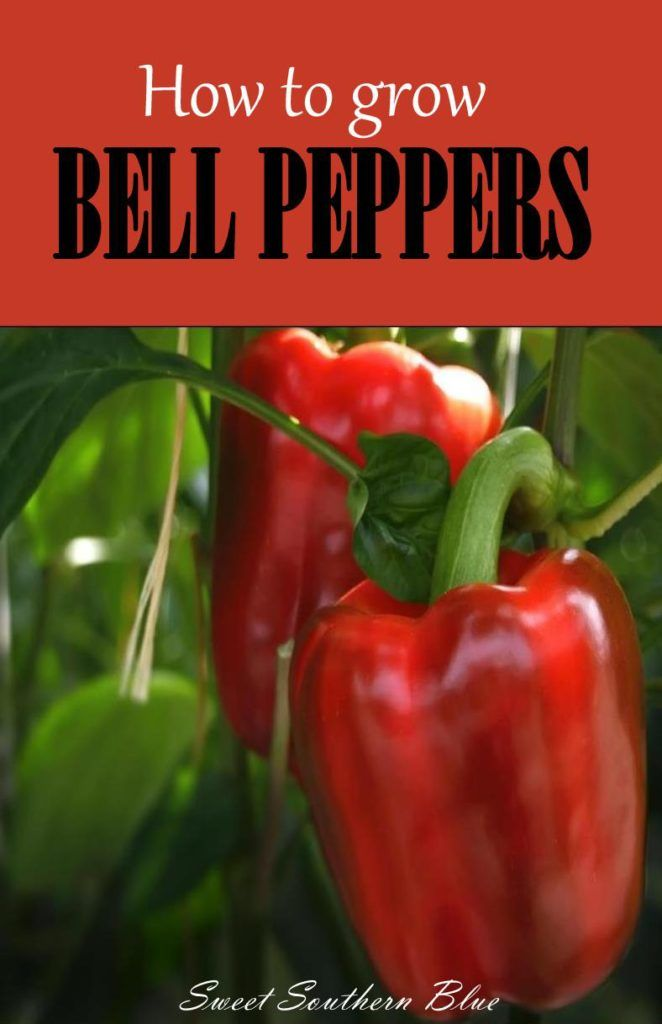 How to Grow ~ BELL PEPPERS