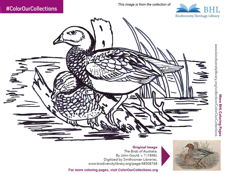 """#ColorOurCollections. Original Image: http://www.biodiversitylibrary.org/page/48508768. To download this image, right click on the pin and choose """"save image as"""" to save the image to your computer. You can then print and color at your leisure!"""