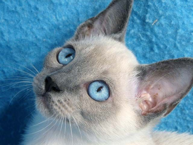 Blue Lilac Point Siamese First Time I Saw One Of These I