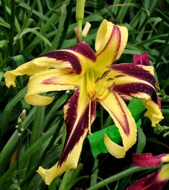 427 Best Daylilies Images On Pinterest