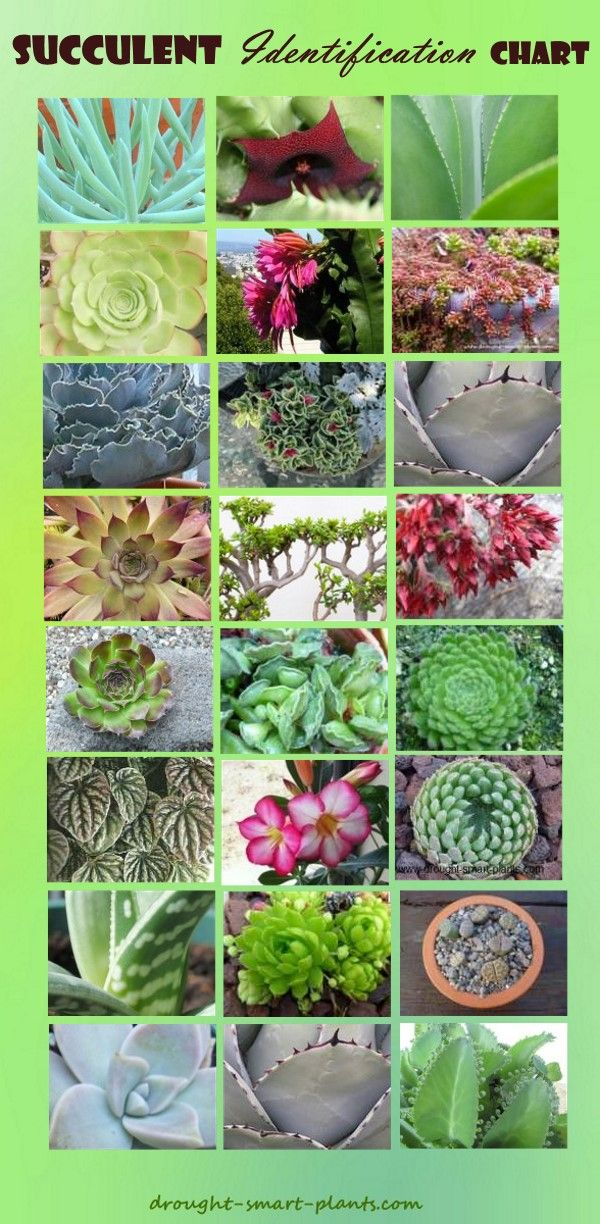 Find  your succulent here - Succulent Identification Chart... Succulent Plants | Growing Succulents