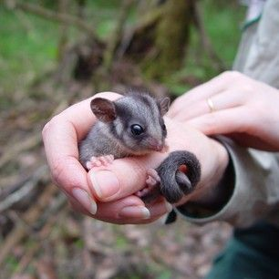 This Tiny Leadbeater's Possum. | The 30 Cutest Animals In Australia Ranked From Cute To Very Very Cute