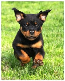 From the Rottweiler Owners Trust
