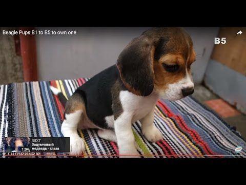 Cute And Funny Beagle Pups Youtube Beaglepups Beagle Puppy