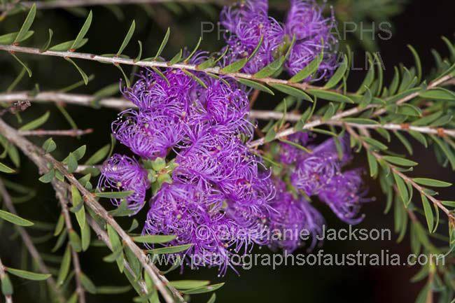 purple flowers of melaleuca thymifolia