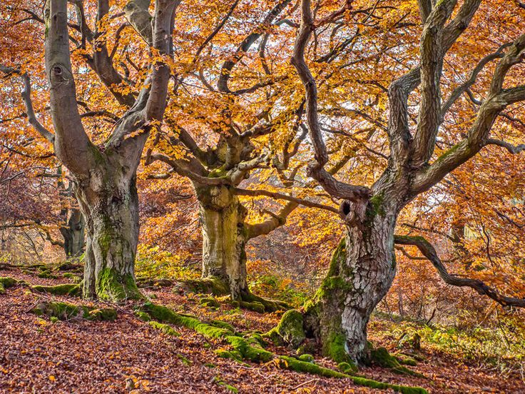 Native to Europe, Asia, and North America, beech trees are some of the gnarliest, toughest, and most beautiful trees on the planet. | 31 Beech Tree Forests To See Before You Die