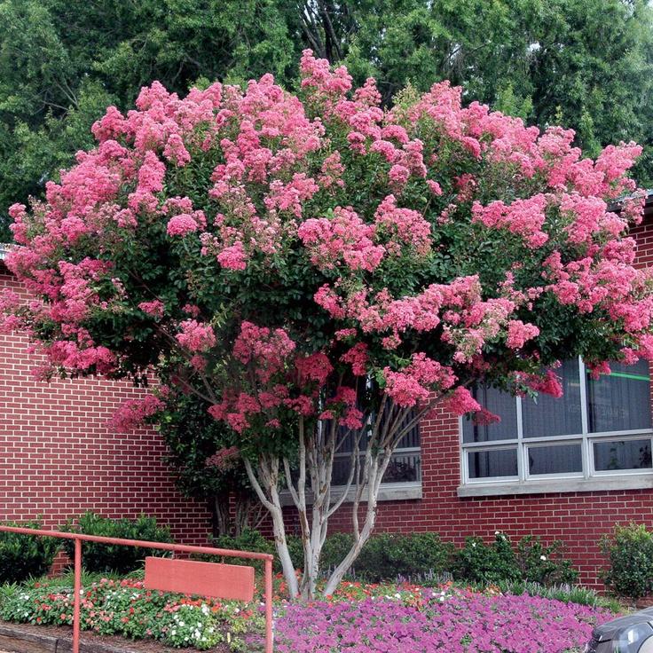 51 best tree ideas images on pinterest garden trees for Flowering ornamental trees zone 5