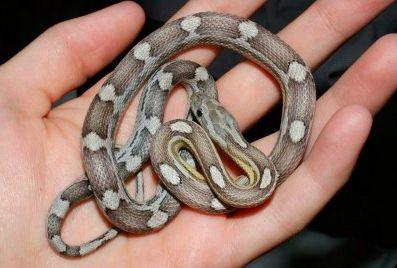 Anery Caramel Motley Corn Snake