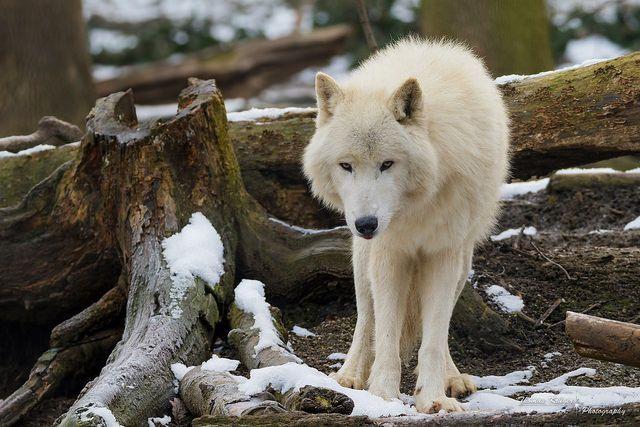phototoartguy: Arktischer Wolf by CROW1973 on Flickr.