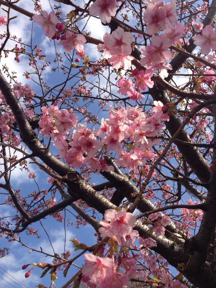 河津桜  #SAKURA #2月3日 #稲取