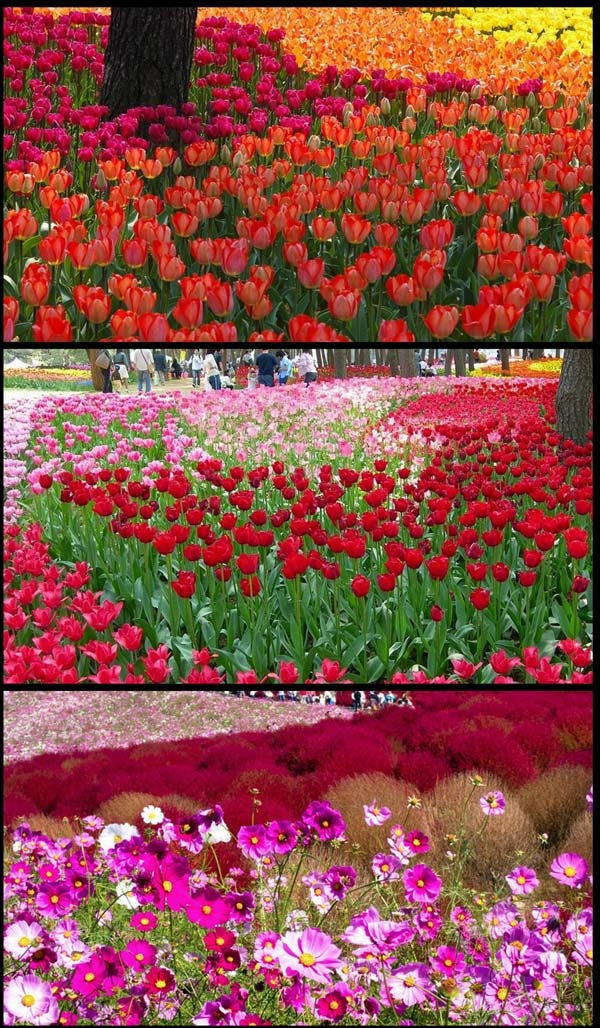 Cool Hitachi Seaside Park Taman Bunga Yang Cantik Di Ibaraki 14 Gambar Wow Pinterest
