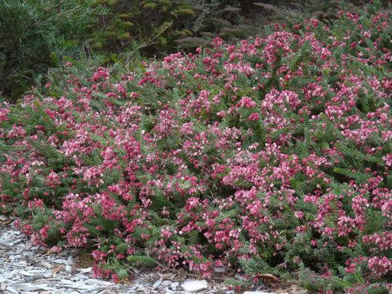Grevillea lanigera 'Mount Tamboritha' (prostrate)