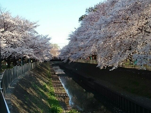 善福寺川の桜❗
