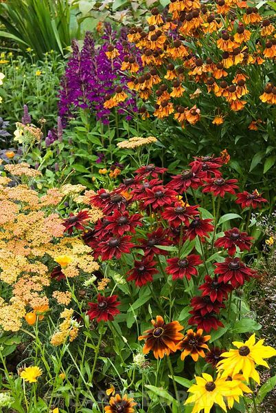 Border with Rudbeckia 'Cherry Brandy', achillea, helenium and lobelia. Poppy Cottage Garden, Roseland Peninsula, Cornwall, UK