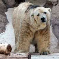 Lives in 104° in an Argentina Zoo w/ proper water to swim in or cool off. His mate died and he is wo any stimuli, ice...just dirt. Help Arturo! Help by getting the word out....this shouldn't occur in 2014. Gobierno de la Provincia de Mendoza. LIBERTAD AL OSO ARTURO CIERRE AL ZOO DE MENDOZA