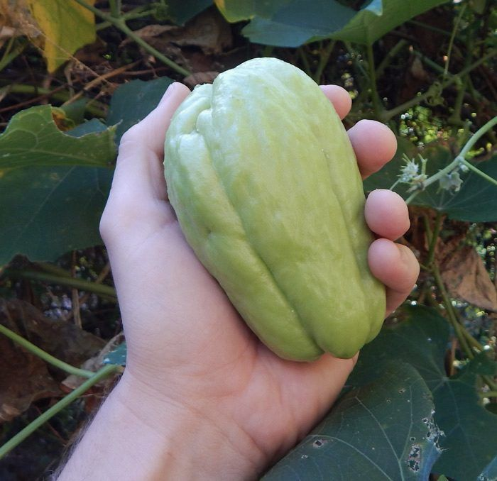 chayote squash how to grow