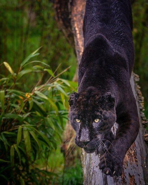 Black Jaguar    Photography by © Richard Langford #Wildgeography