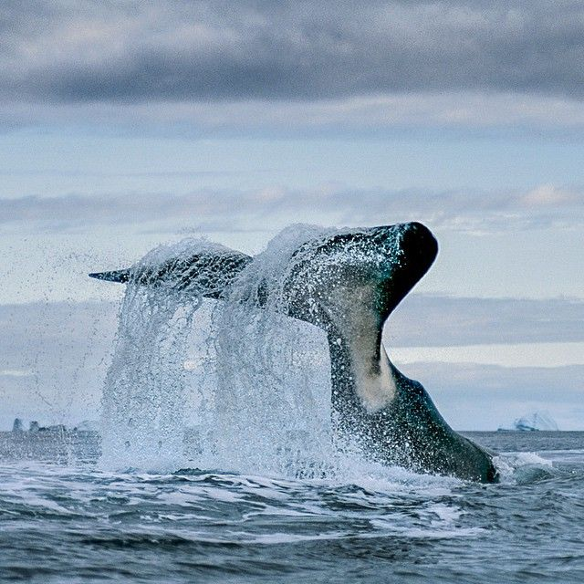 """""""Photograph by @paulnicklen // A bowhead whale smashes its tail on the surface off the East coast of Baffin Island, Nunavut.  This display went on for half…"""""""