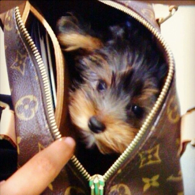 See it: https://itsayorkielife.com/dont-all-good-bags-come-with-a-yorkie/