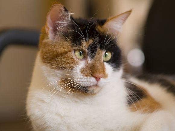 calico cats | AFew More Facts about Calico Cats