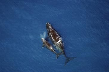Right Whales Threatened by Planned Seismic Surveys Along Mid- and Southeastern Atlantic Seaboard, Say Scientists