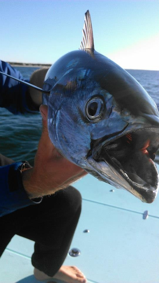 17 best images about false albacore on pinterest legends for Cheeky fly fishing