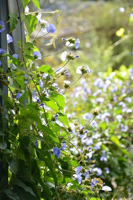 Key West Morning Glory (Jacquemontia) By Annie Schiller, Via Flickr.  Florida Native Plants Nursery | Florida Wildflowers | Pinterest | Morning  Glories, ...