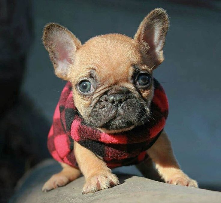 The 25+ best Teacup french bulldogs ideas on Pinterest ...