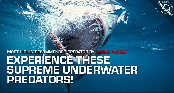 Apex Predator - Great White #Shark Tours #sharkdiving #sharkcagediving
