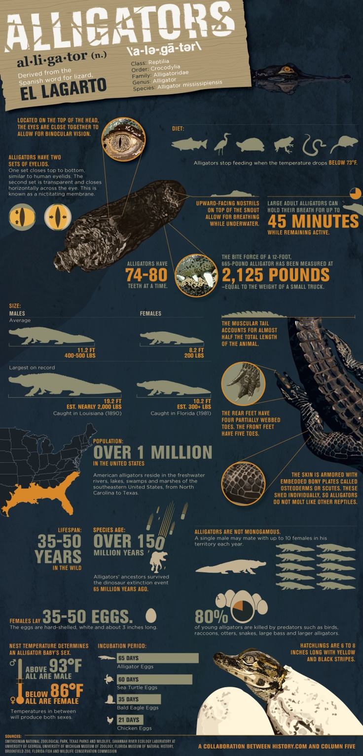 Infographic: Everything you never knew you wanted to know about alligators.: Menu, Tv Show, Latest Infographic, Swamp People, History Channel, Interesting Facts, Alligators Infographic, Parties Mixed, Animal