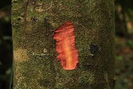 Macaranga capensis - River Macaranga