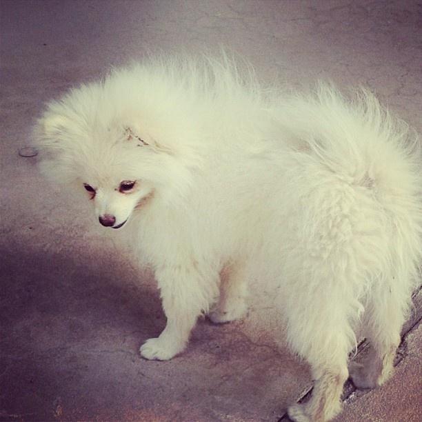 Indi the Pomeranian being a model! #pomeranian