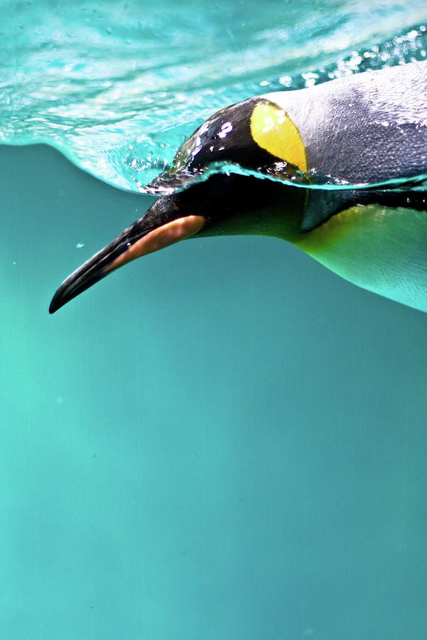 Penguin ©photo-chick (via FineArtAmerica)